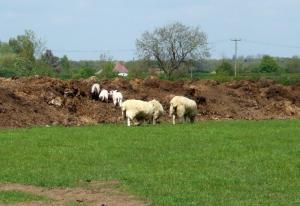 Lambs having fun in the mud