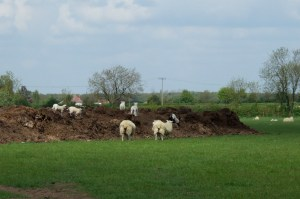 Lambs playing on a mound of mud