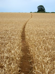 Walking across a corn field