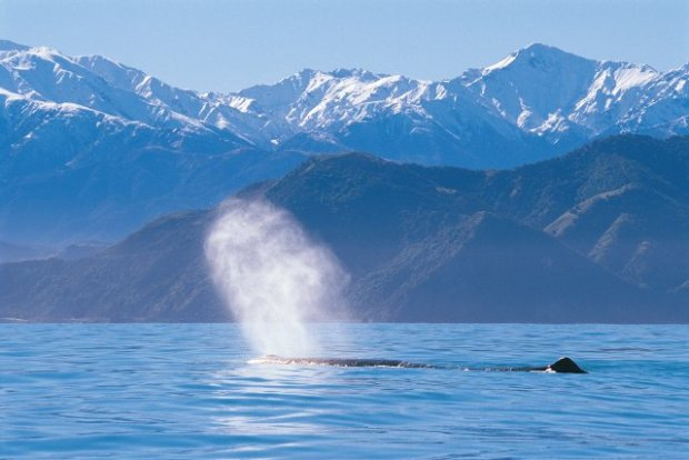 Whale Watching New Zealand