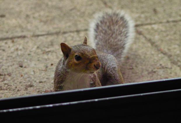 Squirrel by the Patio Door 2010