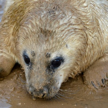 The Seals at Donna Nook and the Storm Surge