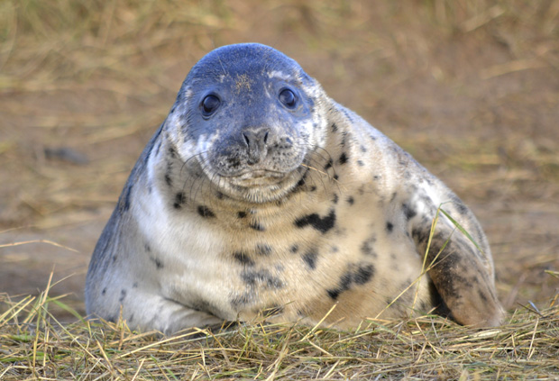 Seals at Donna Nook, November 2013