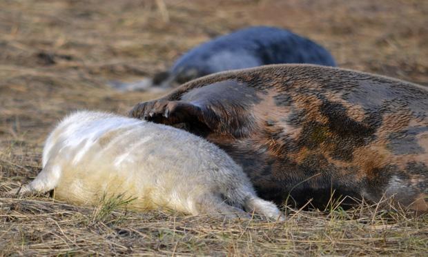 Seals at Donna Nook, November 2013