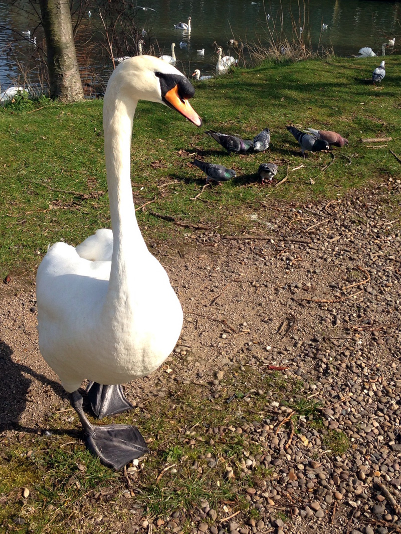 12 March - Lincoln Swan