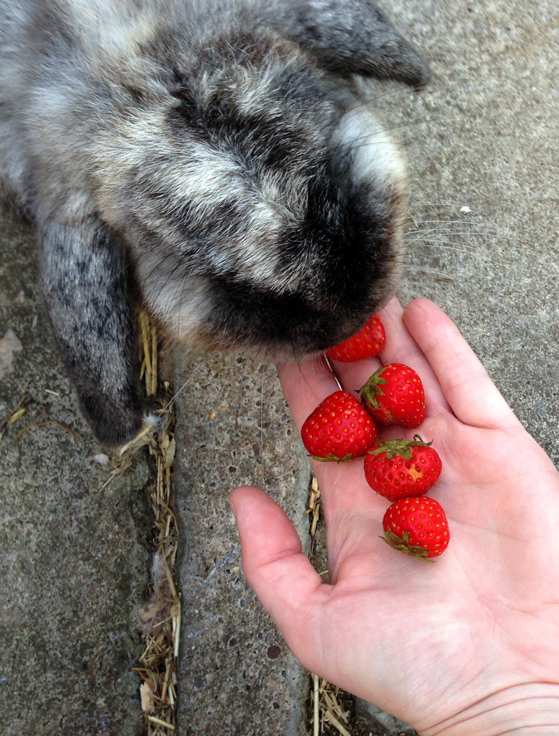 29 July - Chip Bunny Eating Strawberries