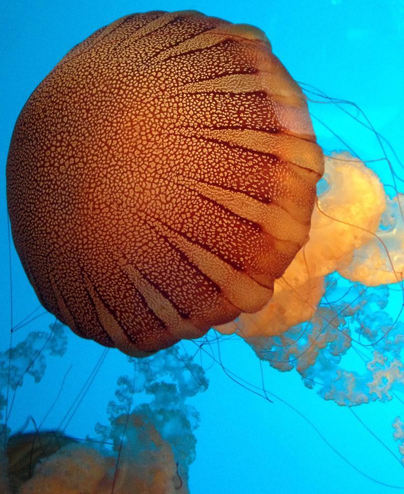 Jellyfish at Monterey Aquarium