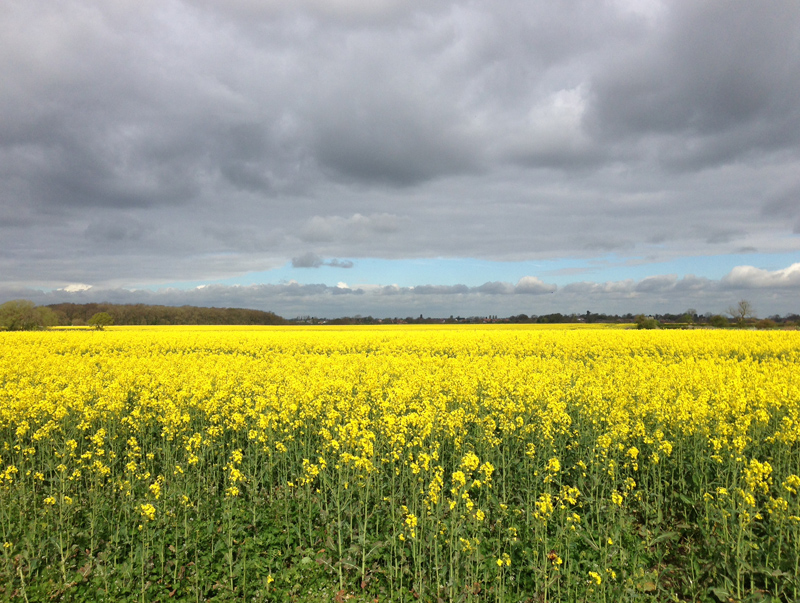 Lincolnshire - Yellow Rape Seed Field Langton-by-Wragby