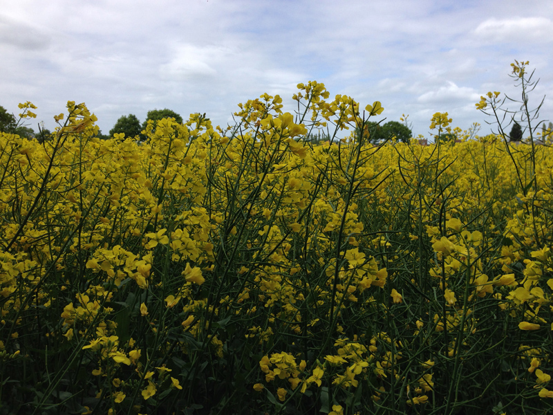 Walking in Lincolnshire - Rapeseed Field