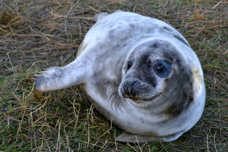 The Seals at Donna Nook Nature Reserve, Lincolnshire, December 2015 - Splodz Blogz