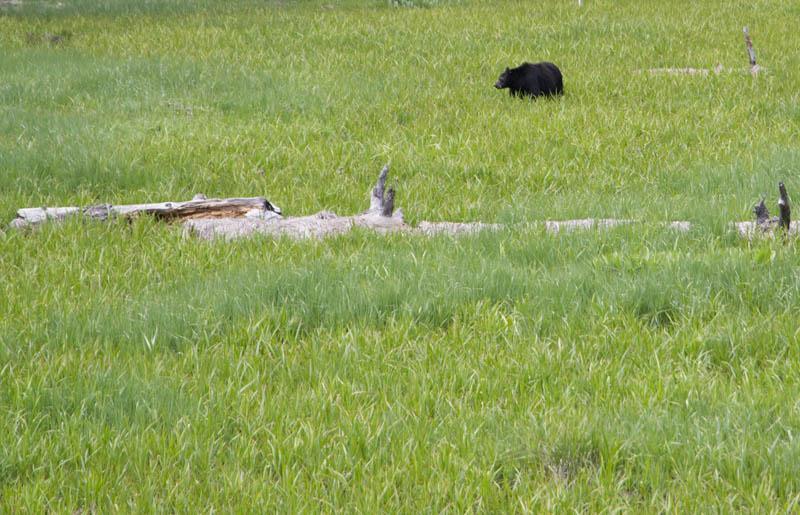 Zartusacan - A Bear in Sequoia National Park