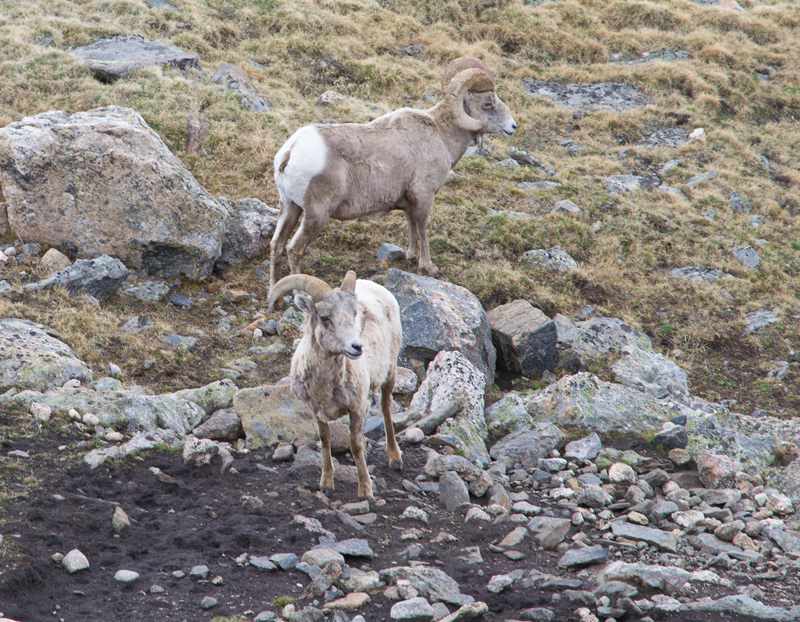 Big Horn Sheep in the Rocky Mountains National Park