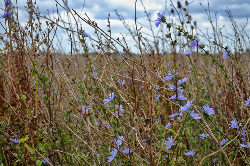 Farm Walk at Vine House Farm, Lincolnshire - Wildflowers