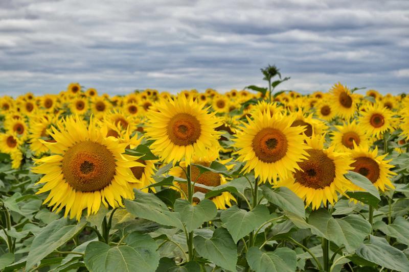 Farm Walk at Vine House Farm, Lincolnshire - Sunflowers