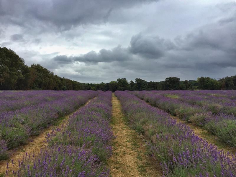 Mayfields Lavender Farm, Surrey - Splodz Blogz