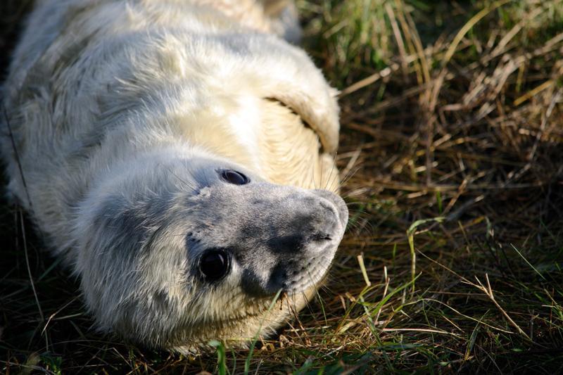Seal Pups at Donna Nook, November 2016, Splodz Blogz