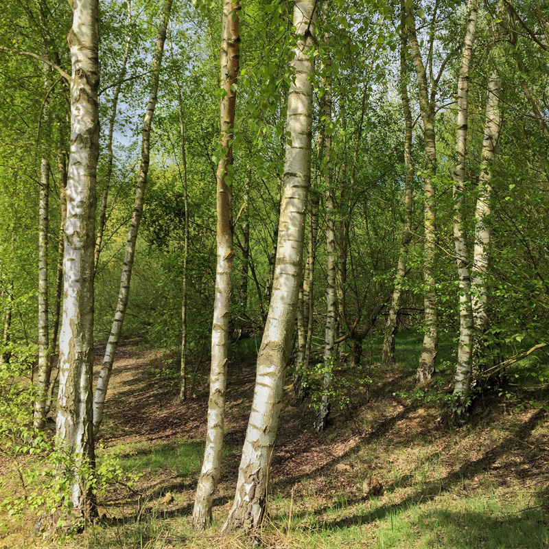 Splodz Blogz | My Nature, Silver Birch