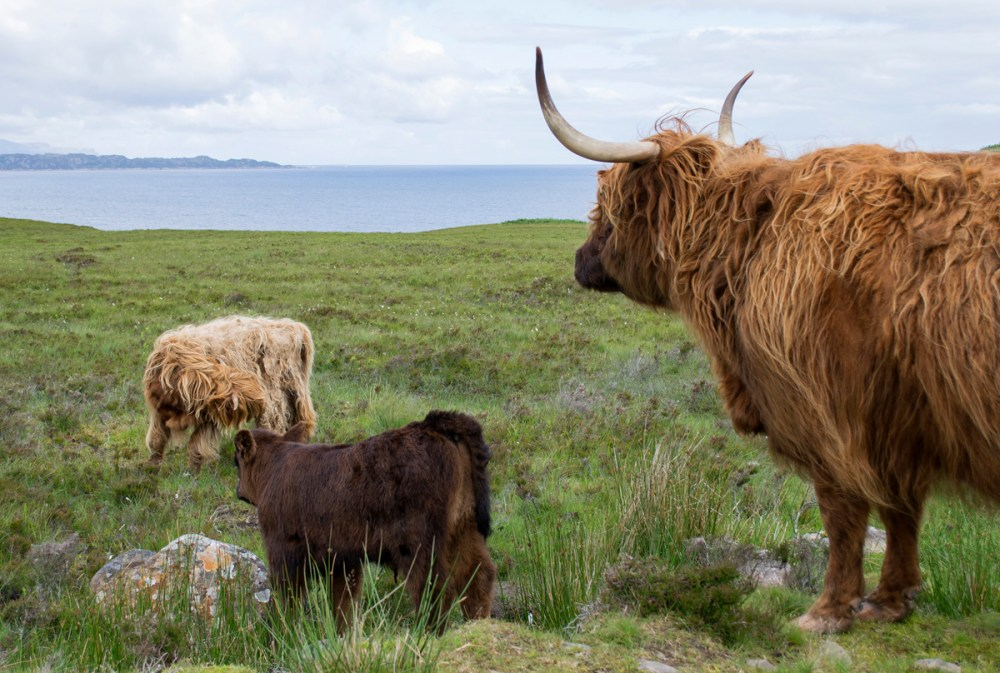 Splodz Blogz | NC500 | Highland Cow