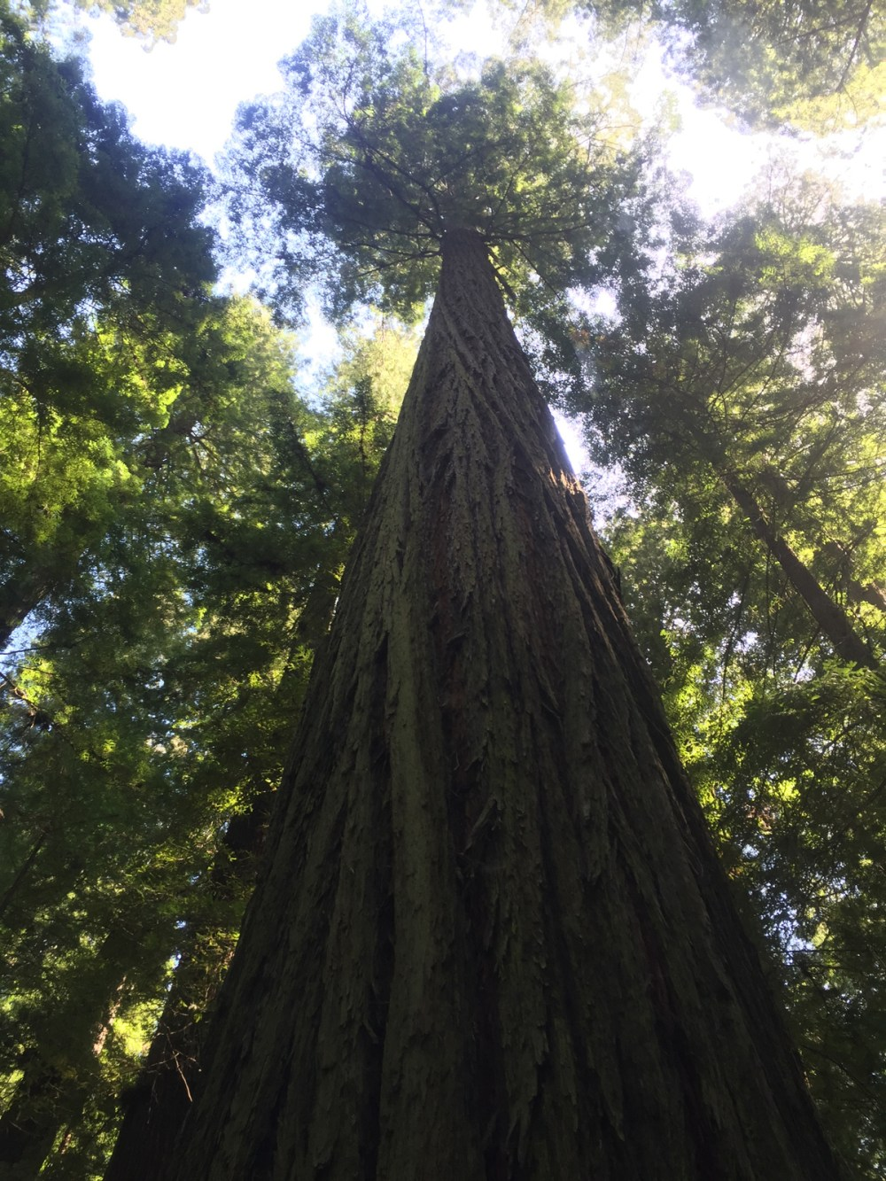 Bucket List View - Giant Redwood Trees