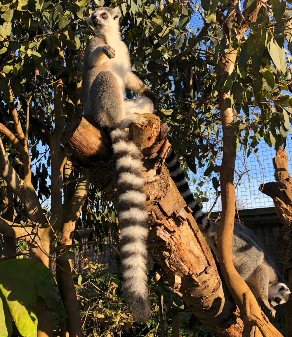 Splodz Blogz | Ringtail Lemur at Cotswold Wildlife Park