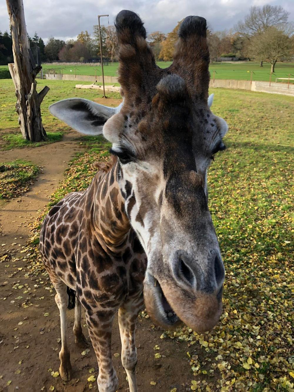 Splodz Blogz   Giraffe at Cotswold Wildlife Park