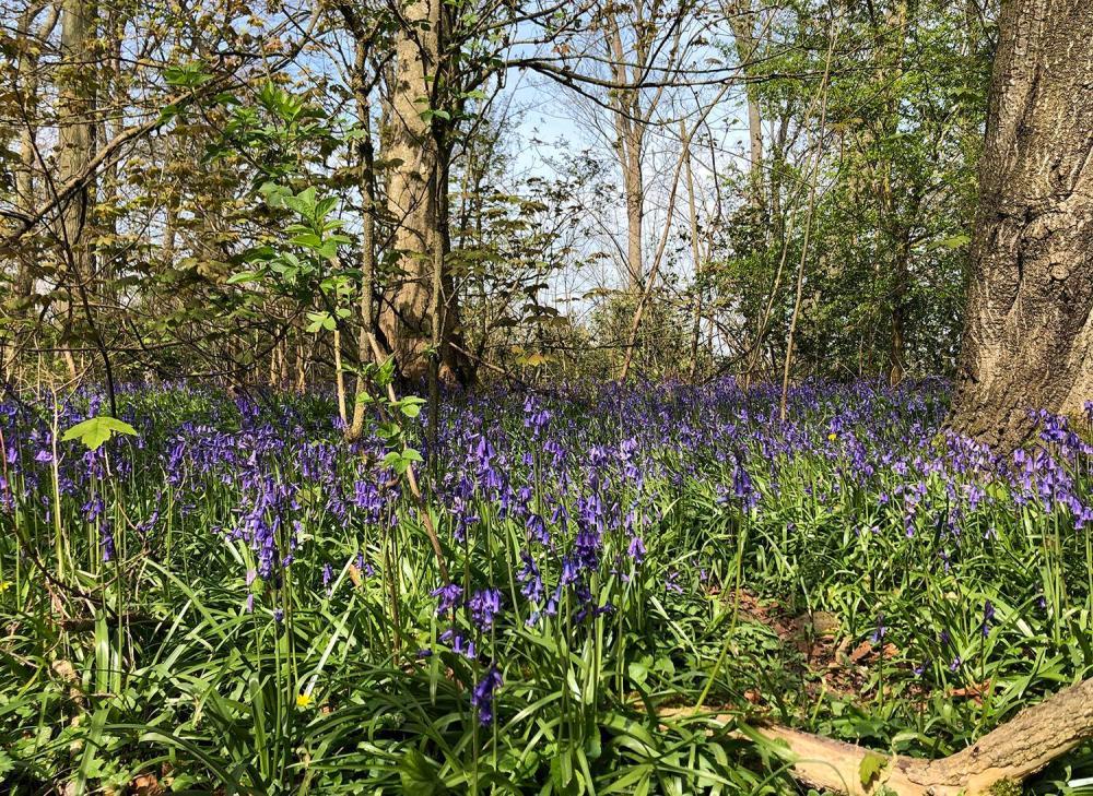 Splodz Blogz | Bluebells on Sandhurst Hill