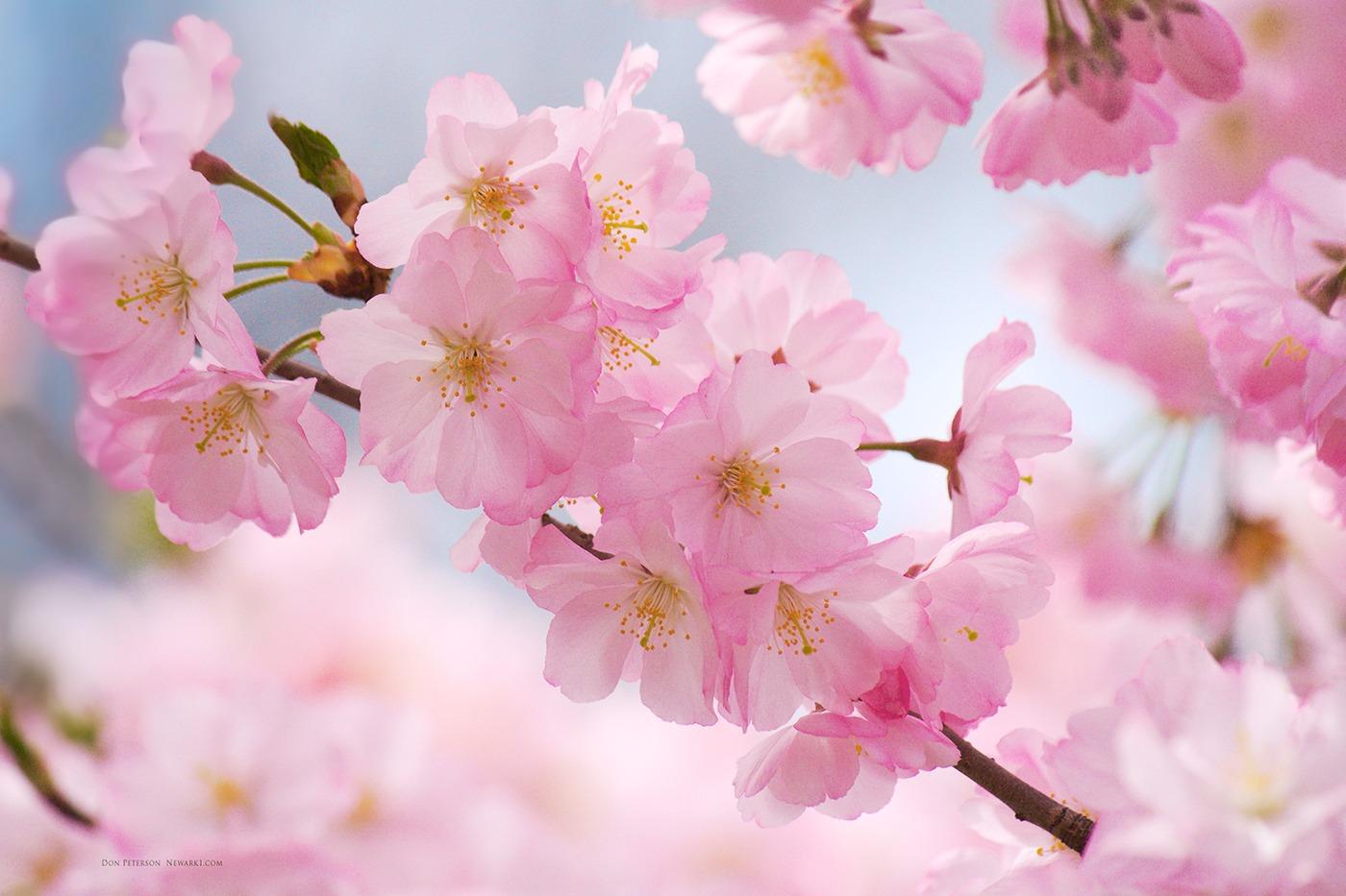 Blossoms Desktop Wallpaper