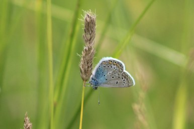 Common Blue probably
