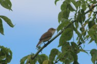 Marsh Warbler probably