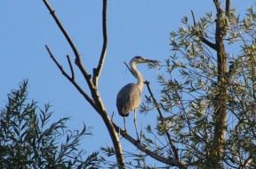 grey heron on tree