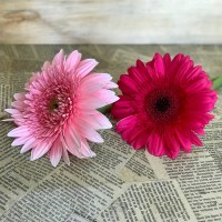 Loose Gerberas each