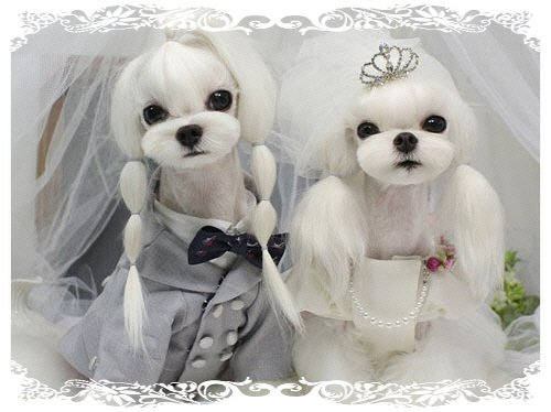 OMG Im Freaking Out Page 5 Maltese Dogs Forum