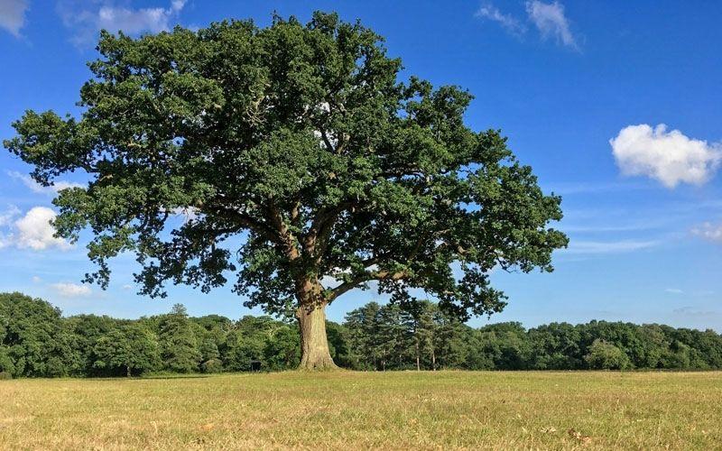 Live Oak Shade Tree