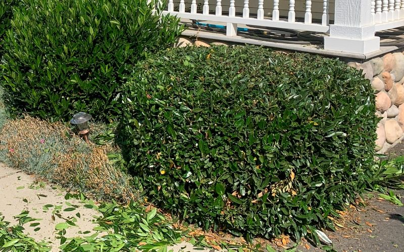 Shrubs lining a porch that are in the process of being trimmed. The shrubs are surrounded by clippings and there are untrimmed shrubs in the background for comparison.