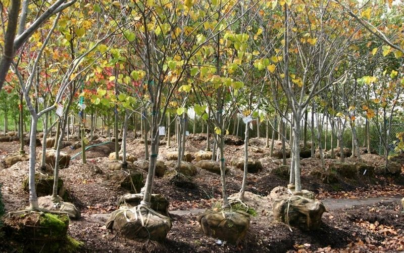 Fast-Growing Shade Tree Nursery