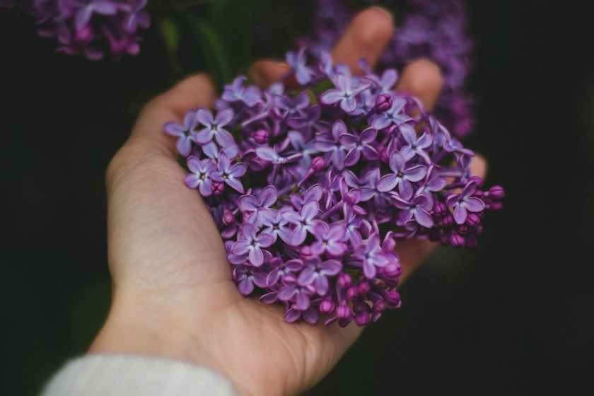 person holding purple flowers