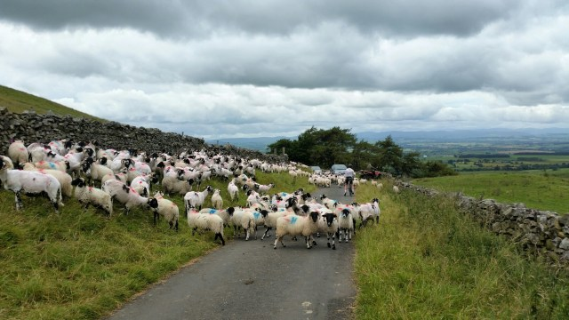 Picking our way through the sheep