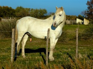 fr-a-rosa-camargue-weisse-pferde