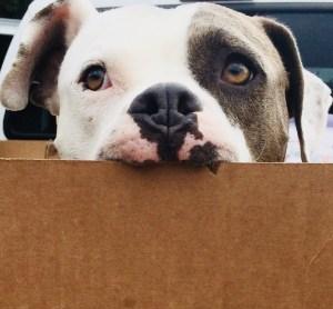 Bubsy the pitbull rescue