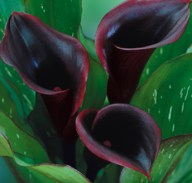 Purple-Calla-Lily-Flowers-Black-Star