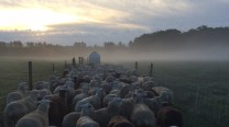 Ewes head to the parlor amidst morning fog