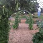 Trellised vine crops