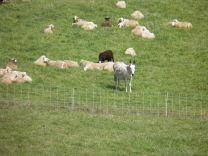 Cynda guards her flock