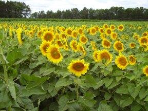 Sunflower Trial