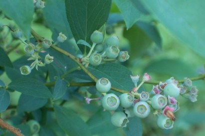 May Blueberries
