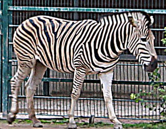 1. FC Union zu Gast bei den Zebras