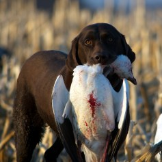 """Chuck Ellingson's 9-year-old """"Morgan"""" with a snow goose."""