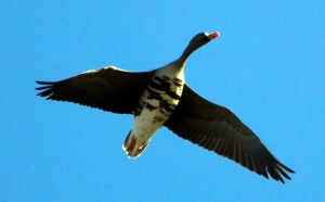 32913 - white fronted goose