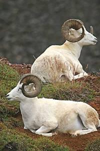 Dall-Sheep-in-Alaska