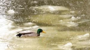 41113 - drake mallard ducks red river